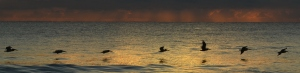 Pelicans skim the ocean as the sun rises turns the sky red and the sea orange
