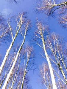 The slender silver birch trees at Anglesey Abbey seem to touch the sky