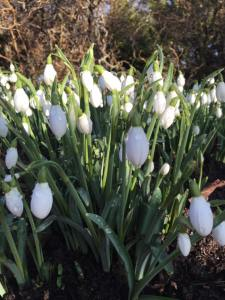 Snowdrops are the flower of the month