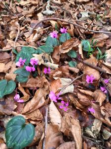 February flowers emerging through the woodland floor